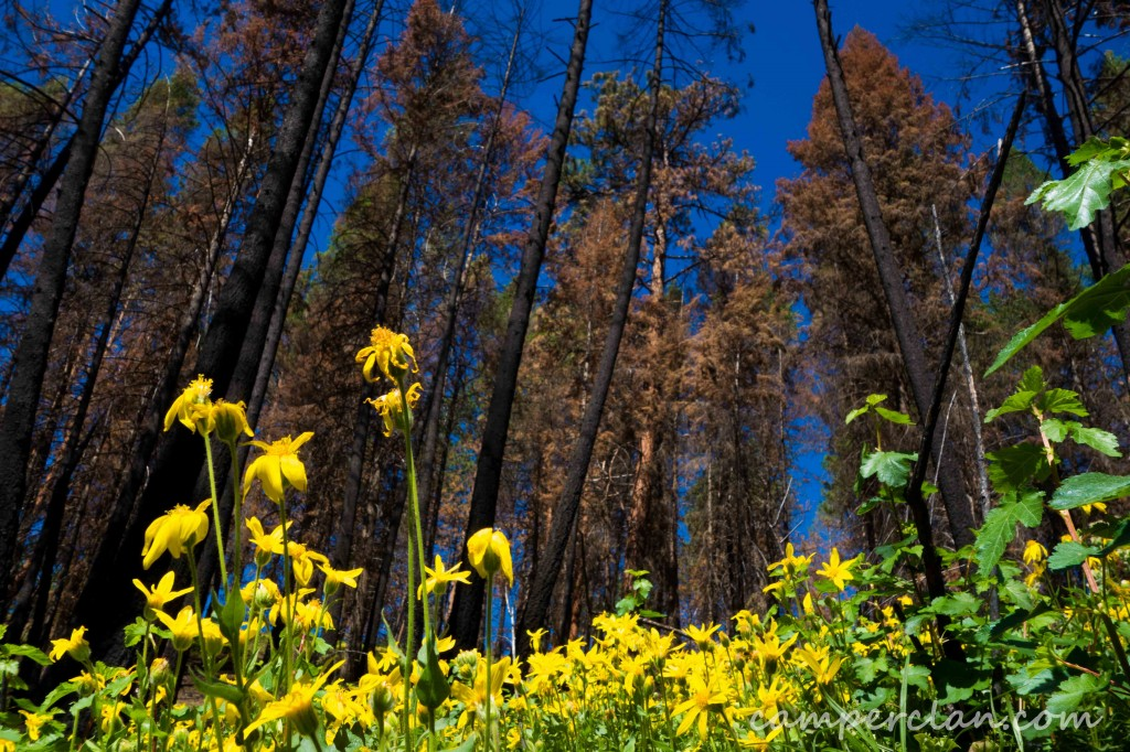 forest fire regrowth
